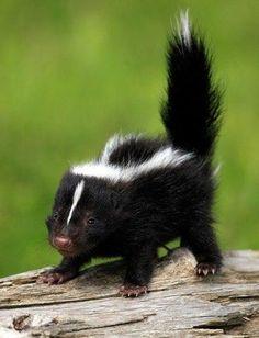 #dailysquee baby skunk