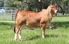 Red Brahman Cattle for Sale in Florida | Buy Brahman Cattle ...