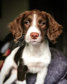 English Springer Spaniels are energetic, friendly dogs that are happy hunting in the fields or fetching in the park. Cute Dogs Breeds, Cute Dogs And Puppies, Adorable Puppies, Spaniel Breeds, Cocker Spaniel, Springer Puppies, Corgi Puppies, Englisch Springer Spaniel, Shiba Inu