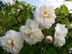 Bred by Marechal France Tea noisette. White yellow undertones, darker in the centre. (Blush noisette x Park's yellow tea scented china. Rosa China, Ronsard Rose, Henny Penny, Rose Varieties, Coming Up Roses, Rose Cottage, Growing Plants, Clematis, Dream Garden