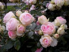 Photo of the rose 'Eden Rose Eden Rose, Rose Photos, Perfume, Flowers, Plants, Beautiful, Plant, Royal Icing Flowers, Flower