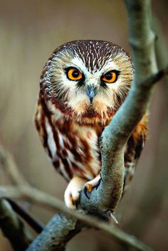 Northern Saw-whet owl in a conservation area in Winona, Ont.