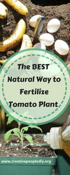 The best natural way to fertilize a tomato plant !