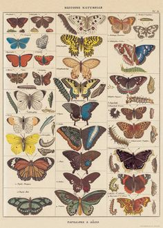 A vintage butterfly chart from the Cavallini archives makes for wonderful gift wrap or frame as art for any room in the house. Printed on Italian acid free paper. By Cavallini & Co.Please note: Given the delicate nature of fine paper, all flat Decoupage Vintage, Decoupage Paper, Photo Wall Collage, Collage Art, Picture Wall, Wall Prints, Poster Prints, Bird Prints, Art Print