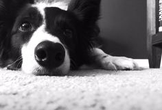 If you love seeing and admiring the beauty of border collies, check out our gallery which features pictures from our community members all over the world!