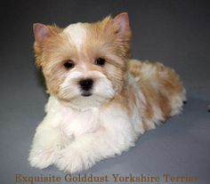 Yorkshire Terrier Golddust Pup Retired NFL player Brandon Whiting & his wife Fomer Philadelphia Eagles Cheerleader Amanda Whiting added one of exquisite's golddust yorkshire terrier pups to their family. www.golddustyorkshireterriers.com