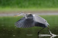 Leggy fish-munchers: the lives of herons by Wild Wonders of Europe
