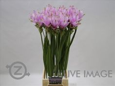 Today in the OZ Export webshop Specials: Curcuma Pink 75 cm, x 20 st. by @KP_HOLLAND.