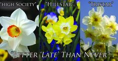 """Will you be attending the Gloucester Daffodil Festival on April 1st & 2nd? Stop by our tent in front of @lulubirds Kitchen and order your """"Better 'Late' Than Never"""" Collection a collection of late Spring Daffodils at a special price and free shipping! #GloDaffFest #DaffFest17"""