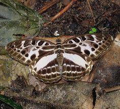 Large Pathfinder - Catuna angustatum