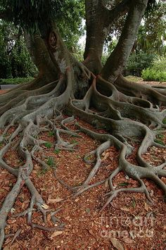 Banyan Tree And Roots In Sarasota Florida Photograph - Banyan Tree And Roots In. Banyan Tree And R Sarasota Florida, Clearwater Florida, Weird Trees, Twisted Tree, Unique Trees, Tree Roots, Nature Tree, Fig Tree, Trendy Tree