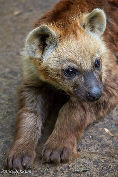 Young Hyena | Flickr - Photo Sharing!