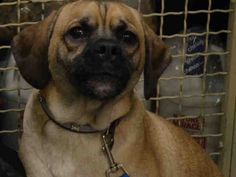 7/19/16 STILL THERE!! SUPER URGENT Manhattan Center  My name is PANTERA. My Animal ID # is A1080626. I am a neutered male tan and black labrador retr and pug mix. The shelter thinks I am about 1 YEAR  I came in the shelter as a OWNER SUR on 07/09/2016 from NY 10454, owner surrender reason stated was PERS PROB. I came in with Group/Litter #K16-064897.