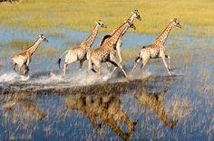Botswana Game Reserve And Bush Lodge Accommodation . Delta De L'okavango, Kenya, Chief Seattle, Game Lodge, Okavango Delta, Game Reserve, African Safari, Natural World, Camel