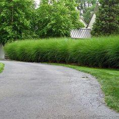 Miscanthus Gracillimus is a versatile ornamental grass. Growing feet tall, … Miscanthus Gracillimus is a versatile ornamental grass. Water Features, Landscape Design, Autumn Garden, Hedges, Ornamental Grasses, Grasses Landscaping, Perennials, Plants, Backyard Landscaping