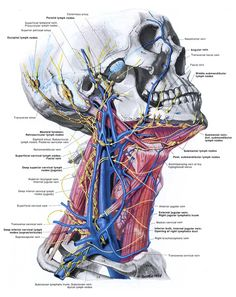 grandanatomy: GREAT illustration of the veins and lymph nodes in the neck. Nerve Anatomy, Human Body Anatomy, Human Anatomy And Physiology, Muscle Anatomy, Anatomy Art, Lymph Massage, Gross Anatomy, Medicine Student, Medical Anatomy