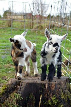 Kid goats - my first pet as a child was a kid goat called Waggy.