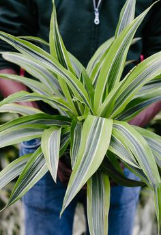 Dracaena Lemon Lime The Orchid Column: Behind the Scenes at Garden Lights Holiday Nights