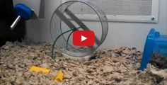 Lazy Hamster Does The Hamster Wheel Lying Down