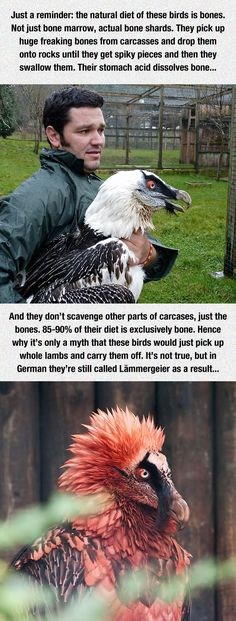 Bearded Vulture. Can grow to be 4ft high with a wingspan of 7-9 feet. Omg. And they can live to be 45 years old. Their diet consists of bone and bone marrow. What!????