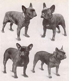 Vintage French Bulldog ❤️