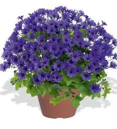 Senetti 'Primavera Navy Blue' Navy Blue, Herbs, Plants, Garden Planning, Herb, Plant, Planets, Medicinal Plants