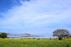 菜の花とネモフィラ ~国営ひたち海浜公園 Canola flower(rape blossoms) and Nemophila(Baby blue eyes) in Hitachi Seaside Park,Ibaraki,Japan