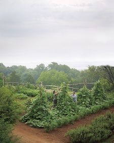 Two gardeners tie up long gourd vines on trellises made from red cedar poles found on the property. Thomas Jefferson's vegetable garden at Monticello. Virginia.