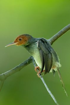 Ashy Tailorbird  Wong Cettiidae bird is endemic of Thailand.  Habitat: mangrove forest flares can sometimes be found in lowland rainfore...