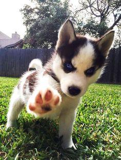 Husky Lover