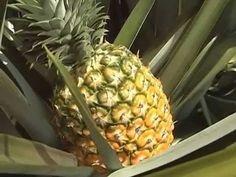 Como cultivar Piña - Ananas - Tv agro By Juan Gonzalo Angel - YouTube