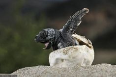 This is what a Loggerhead baby Turtle hatching looks like.