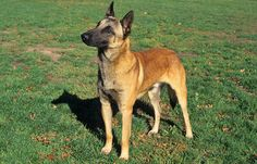 Belgian Malinois Breed Information...for all who need answers why my dog is the way he is...