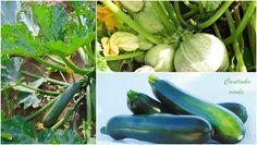 Cantinho verde - horta e jardim: Cultivo de courgettes