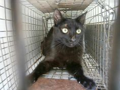 URGENT!!! This beautiful black female cat is PAST DUE and is said to be feral. Feral cats can be loved and be part of the household too! If you can save her, her tag# is 2174. She is between 1 and 2 years old. She is at Gaston County Animal Control, 221 Leisure Lane, Dallas, NC  Phone# (704) 922-8677. Please see pin on this board on how to place a hold for a pet. Thank you!