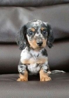 Dapple Dachshund Puppy, Dachshund Funny, Dachshund Breed, Dachshund Love, Dachshund Clothes, Dachshund Gifts, Cute Puppies, Cute Dogs, Dogs And Puppies