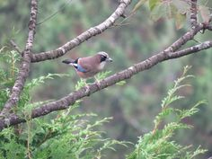 カケス. Eurasian jay 11 September 2016.