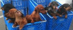 Sunday shopping (via Gustav's Dachshund World & Friends)