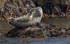 Atlantic grey seal (Halichoerus grypus) hauled out on rocks at the Cairns of Coll, Inner Hebrides, Scotland
