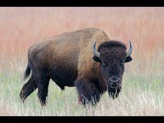 ▶ The Return of the Bison to Fort Peck Reservation, Montana, March 19, 2012.  (Full Version) - YouTube