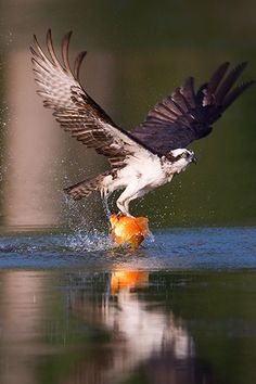 Osprey catching a fish. Osprey (Pandion haliaetus) One of the most widespread birds of prey, the #Osprey is found on every continent in the world except Antarctica. The osprey is also called the 'fish hawk', as it is well adapted for hunting fish. A reversible outer toe helps the osprey to carry fish while in flight. Hunting almost exclusively for live fish, the osprey plunges feet first to snatch them from the water, sometimes becoming completely submerged.  #BirdsofPrey #BirdofPrey #Bird…