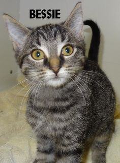 ADOPTED! Tag# 12568 Name is Bessie Tabby Female-not spayed Approx. 8 weeks old Very cuddly, playful!  Located at 2396 W Genesee Street, Lapeer, Mi. For more information please call 810-667-0236. Adoption hrs M-F 9:30-12:00 & 12:30-4:15, Weds 9:30-12:00 & Sat 9:00-2:00  https://www.facebook.com/267166810020812/photos/a.920466131357540.1073742207.267166810020812/920466378024182/?type=3&theater