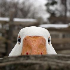 that duck again!