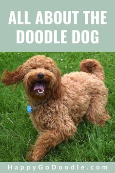 With so many types of Doodle dogs, who can keep track of them all? Happy-Go-Doodle is here to help! If you're doing your homework on different types of Doodle dogs from Goldendoodles to Labradoodles to Aussie Doodles get the 4-1-1- here. #doodledog #doodledogs #typesofdoodledogs  #doodledogbreeds ##happygodoodle F1b Goldendoodle, Labradoodles, Goldendoodles, Mini Doodle, You Doodle, Animal Nutrition, Pet Nutrition, Doodle Dog Breeds, Golden Retriever Breed