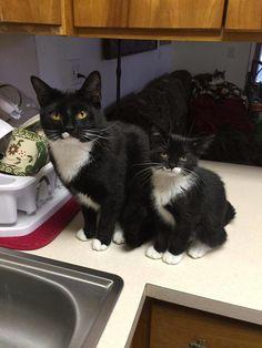 Tuxedo Cats ♥
