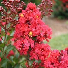 Red Magic Crapemyrtle