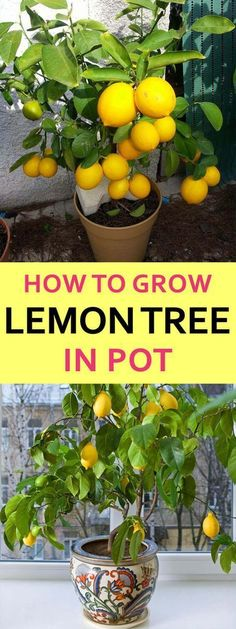 How Lemon Trees Make You a Better Garden Lover #WaterUtilityBilling