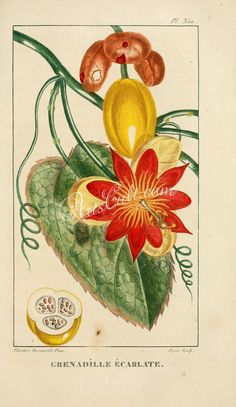 Passiflora coccinea, Scarlet passion flower, Red passion flower ...
