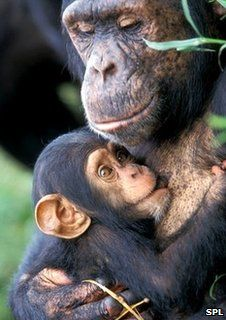 Female chimp with baby (Image: Science Photo Library) Mother And Baby Animals, Cute Baby Animals, Animals And Pets, Exotic Animals, Female Gorilla, Types Of Monkeys, Monkey World, Gorilla Tattoo, Monkey Art
