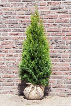 Thuja Smaragd Lebensbaum<br>100/120 cm - Ø 40/50 cm
